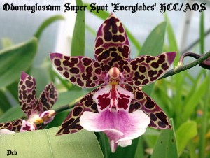 Deb's Odontoglossum Super Spot 'Everglades'