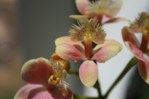 EPIDENDRUM_Lakeview Angel_Maggie