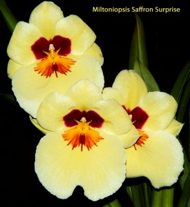 Miltoniopsis Saffron Surprise_Gyorgy