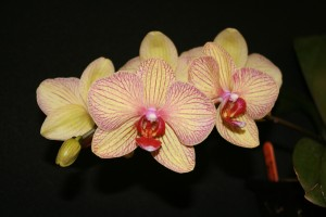 PHAL_BALDANS KALEIDOSCOPE_Golden Treasure_Maggie2