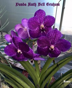 Renee's Vanda Ruth Bell Graham