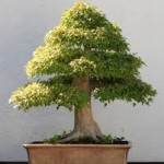 bonsai 2 labeled for reuse