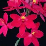 Eron Borne, Central Louisiana Orchid Society, LA