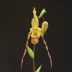 Graham Ramsey, WNC Orchid Society, Asheville, NC